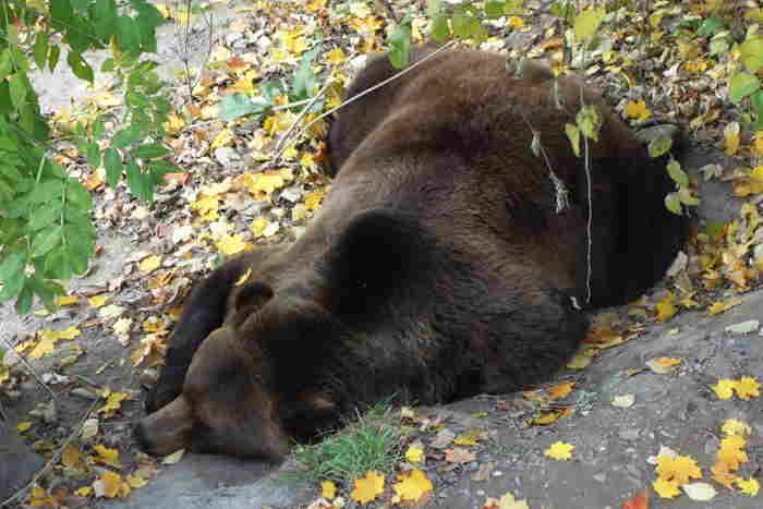 — Finn se préparant à hiberner — Parc aux ours — Bern/Berne —