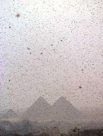 Essaim de criquets au Caire