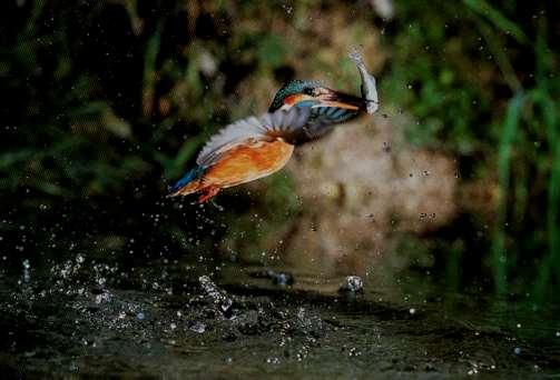Martin-pêcheur en action