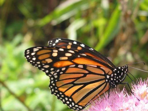 papillon monarch