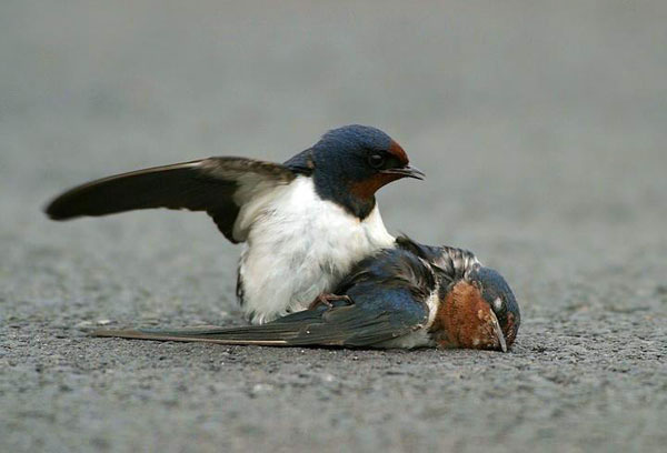 Moineau tentant de mouvoir sa femelle
