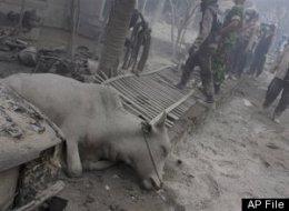 10 000 vaches retrouvées mortes (de froid... ) au Vietnam