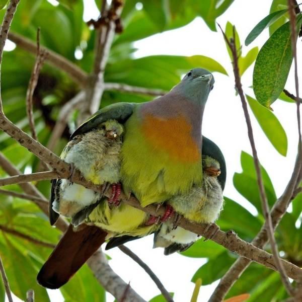 Pigeon protecteur