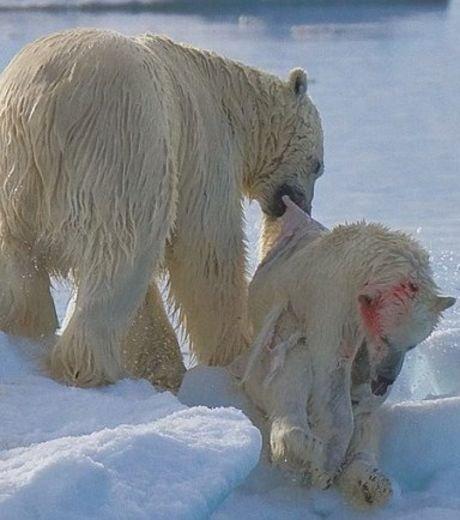 Ours polaire prêt à dévorer un ourson